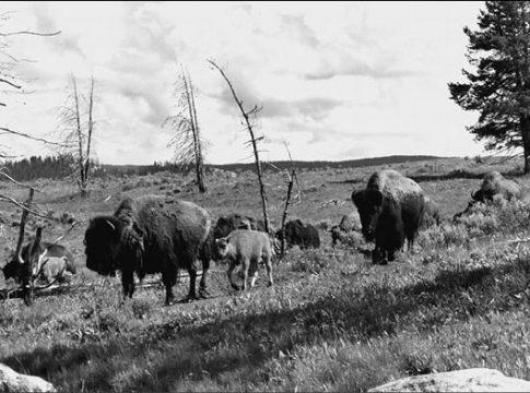 Когда стада были большими, или Миф о добрых индейцах